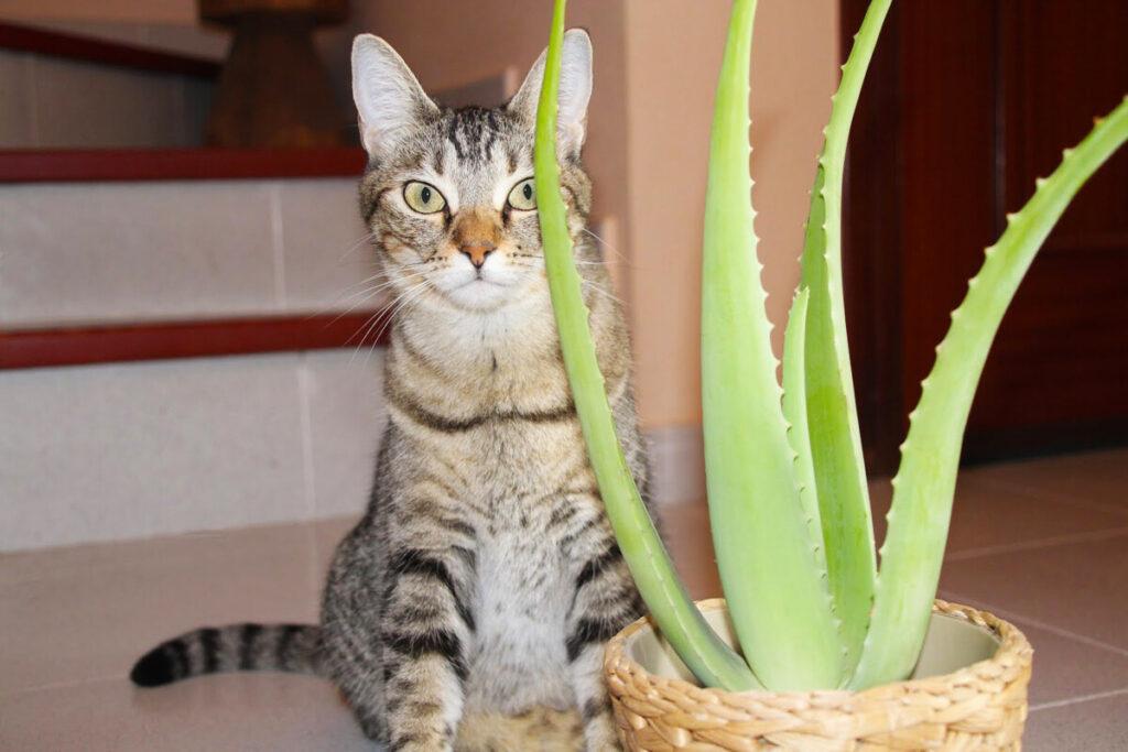 Aloe vera planta segura