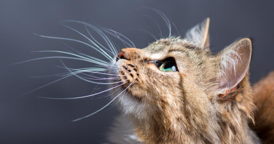 Los bigotes de un gato pueden regenerarse.