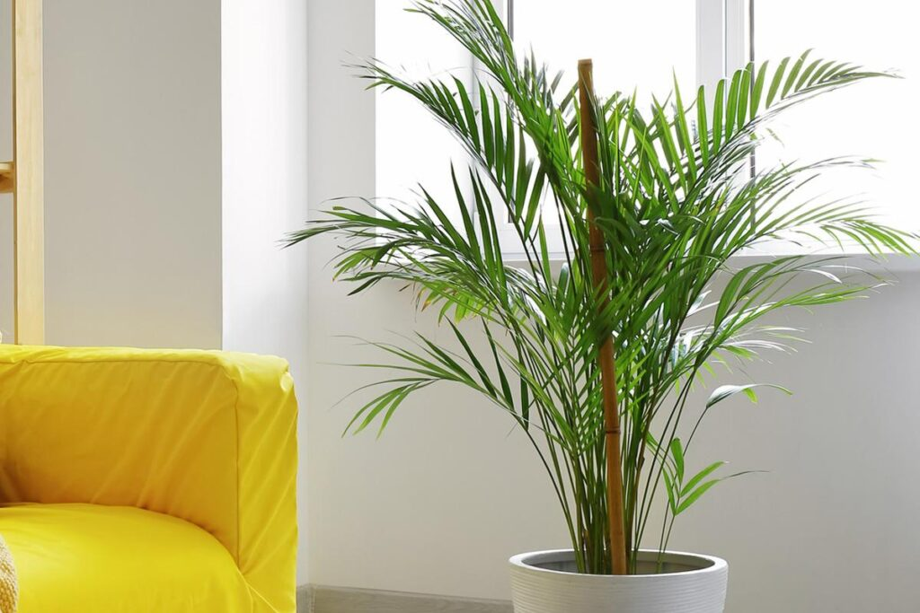 Palma careca planta segura