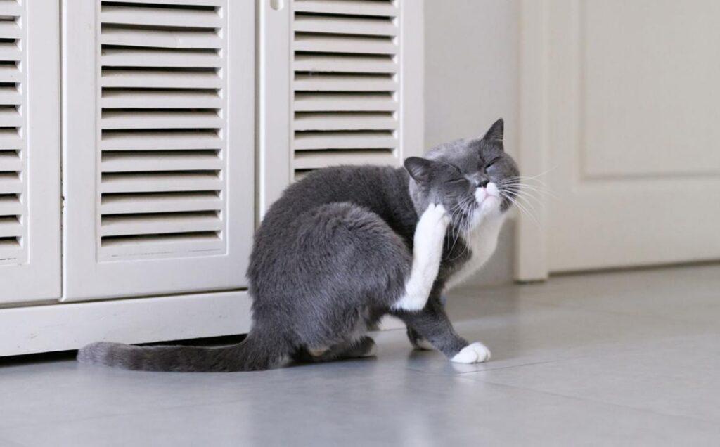 Por qué se caen los bigotes de los gatos