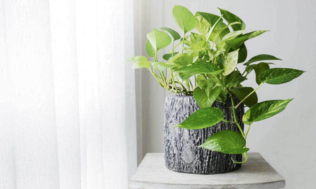 Potos plantas tóxicas