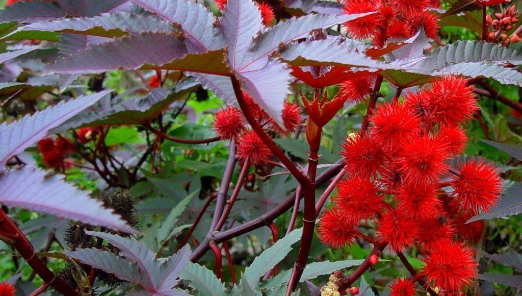 Ricino plantas tóxicas